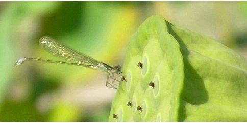 libelle op lotus-zaadpot